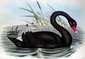 cisne-negro (1)